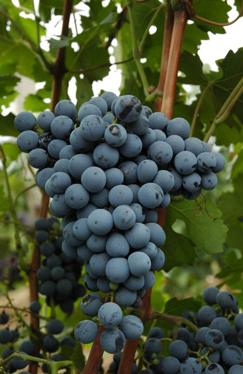 137254_marselan-grapes-2.jpg